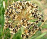 Leek Seed P.E/Chinese Chive het Uittreksel van P.E/Garlic Chives van het Zaad