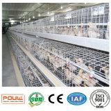 작은 어린 암탉 닭은 Henan Poul 기술에서 시스템을 감금한다