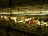 プレハブによって電流を通されるコーティングの鉄骨フレームの家禽は収容する(KXD-SSW1746)