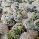 Frucht oder Gemüse, die Nettostrangpresßling-Zeile verpacken