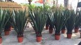 リュウゼツランAttenuataグウ1453943341981の人工的なプラントそして花