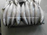 Intero Round Frozen Fish Pacifico Mackerel per Bait