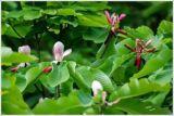 Honokiol 98 % par rapport à l'extrait de l'écorce Magnolia