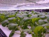 L'alta efficienza 300W LED si sviluppa chiara per la pianta frondosa