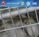 Cages entièrement automatique pour les poulets à griller