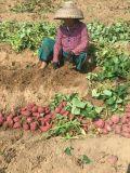 Bio fertilizante de Unigrow para a plantação da batata doce