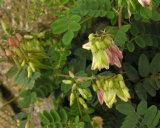 Astragalus Membranaceus extraer los polisacáridos, Astragaloside IV, de alta pureza