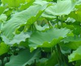 Nuciferine1%- 98%, extrato de folha de lótus em pó a perda de peso em pó