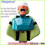 고품질 흉상을%s 가진 고위 인체 해부 모형 모형 그것은 어떤 위치 사례든지를 위한 치과 의자에 조정 일 수 있다