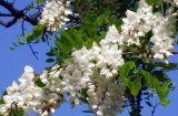 Origine della rutina dal Sophora Japonica per gli api