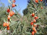 Het organische Droge Nieuwe Gewas van het Fruit 2017 van Wolfberry van de Bes Goji Droge