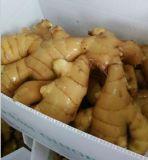 Poudre de gingembre, gingembre normal de vente en gros de nouveau produit de Chine à vendre