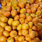 O mandarino doce pequeno do bebê de Nanfeng da colheita nova