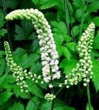 까만 Cohosh 추출 Triterpene (Cimicifuga racemosa 추출)