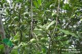 Viento del huerto de Macadamia ternifolia ventilador para el árbol (FSJ-85)