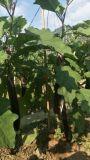 Unigrow organisches Biodüngemittel auf dem Aubergine-Pflanzen