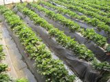 PVC/PE/PP Masterbatch negro parala Agricultura, el uso de película de mullido