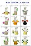 100% natürliche Patschulipflanze-wesentliches Öl für Haut-Sorgfalt und Kosmetik