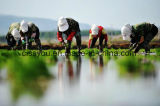 Rijst die de Plantmachine van de Planter van de Padie van de Zaaimachine Planten