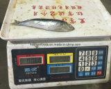 Chinese Fabriek Bevroren Ingeblikte Sardine voor Ingeblikt