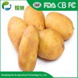 La nouvelle récolte 2018 de la récolte de pommes de terre fraîches avec une haute qualité