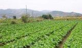 Gasolina Semeadora Vegetais Alface couve rábano Flores Máquina de Plantio