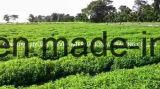 Natürlicher Stevia-Auszug Stevioside mit guter Qualität
