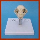 Modelo plástico anatômico médico do órgão de Aninal do crânio do gato