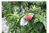 Pp Nonwoven Fabric voor Fruit Cover met Good Quality