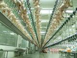La línea de sacrificio de pollos procedentes de China