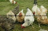 Sechseckiges Galvano galvanisiertes Huhn, das Maschendraht von China bewirtschaftet