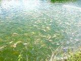 Unigrow Aditivo para Shirmp microbiana, Peixes, caranguejo e Talipia pura