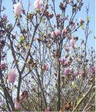 マグノリア及びMicheliaの実生植物及び木