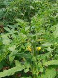 Unigrow 건강 유기 토마토 설치에 미생물 유기 비료