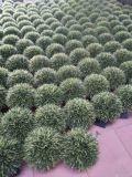 Künstliche Pflanzen und Blumen des Boxwood-Baums Gu112638