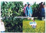 Engrais biologique d'Unigrow pour la plantation de maïs