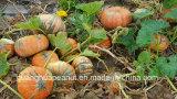 Урожай 2017 горячего стерженя семени тыквы кожи Shine сбывания новый