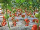 Unigrow Schmutz-Verbesserung für das Tomate-Pflanzen
