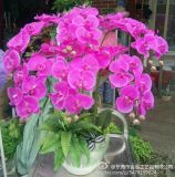 ベストセラーの1つのヘッド蘭の花Gu1124192751