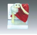 Mlae Xy 3337 인간적인 골반 (해부 모형)