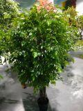 Migliori piante artificiali di vendita dell'albero Gu1468594272203 del Ficus