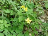 10:1 dell'estratto dell'erba del maggior Celandine del campione libero