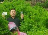 Unigrow bio d'engrais organique sur la plantation de thé vert Bio, de nouvelles pousses Stout, la couleur des feuilles vert foncé, lustre profond, Soft