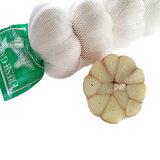 Comercio al por mayor de ajo fresco al mercado de Oriente Medio