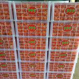 O padrão de qualidade de exportação bebê fresca Mandarin