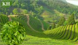 Extrait de thé vert de 95% EGCG