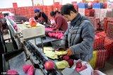 Buona fabbrica Apple fresco della frutta di gusto di migliore qualità
