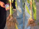 [أونيغروو] عصية [لتروسبوروس] على ذرة يزرع