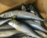 300-500g Chinese Bevroren Vreedzame Makreel voor Verkoop