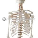 人間の骨組プラスチックPVCのモデル